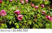 Купить «Closeup view on red bush rose flowers blooming in garden», видеоролик № 26640565, снято 29 апреля 2017 г. (c) Яков Филимонов / Фотобанк Лори