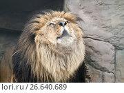 Рычащий лев. Стоковое фото, фотограф Parmenov Pavel / Фотобанк Лори