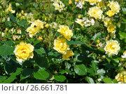 Купить «Желтые парковые розы», эксклюзивное фото № 26661781, снято 11 июля 2017 г. (c) Елена Коромыслова / Фотобанк Лори