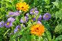 Календула (лат. Calendula officinalis) и Мелколепестник (лат. Erigeron) цветут в саду, фото № 26669465, снято 15 июля 2017 г. (c) Елена Коромыслова / Фотобанк Лори