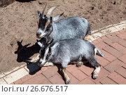Купить «Козы: самка и детеныш», фото № 26676517, снято 28 июня 2017 г. (c) Кекяляйнен Андрей / Фотобанк Лори