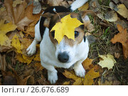 Купить «Dog sitting on the grass with maple leaf on his head», фото № 26676689, снято 14 октября 2015 г. (c) Kira_Yan / Фотобанк Лори