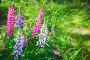 Colorful lupine flowers on the meadow in summer, фото № 26692221, снято 2 июля 2017 г. (c) Евгений Сергеев / Фотобанк Лори
