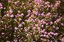 coleonema pulchellum blossom, фото № 26695309, снято 25 июля 2017 г. (c) Яков Филимонов / Фотобанк Лори