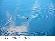 Купить «Круги на спокойной поверхности воды. Водомерка (Gerridae)», фото № 26705345, снято 17 июля 2017 г. (c) Татьяна Белова / Фотобанк Лори