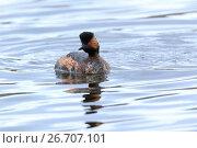 Купить «Поганка черношейная. Black-necked Grebe (Podiceps nigricollis, Podiceps caspicus).», фото № 26707101, снято 23 апреля 2017 г. (c) Василий Вишневский / Фотобанк Лори