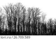 Купить «Bare trees isolated on white background», фото № 26709589, снято 20 февраля 2017 г. (c) EugeneSergeev / Фотобанк Лори