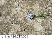 Купить «Forget-me-nots», фото № 26717001, снято 17 июня 2017 г. (c) Дарья Богитова / Фотобанк Лори