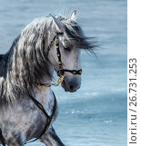 Портрет серой испанской лошади на фоне моря. Стоковое фото, фотограф Абрамова Ксения / Фотобанк Лори