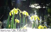 Купить «Iris pseudacorus yellow flag, yellow iris, water flag, lever is a species in the genus Iris, of the family Iridaceae», видеоролик № 26735021, снято 5 июня 2009 г. (c) Куликов Константин / Фотобанк Лори