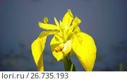 Купить «Iris pseudacorus yellow flag, yellow iris, water flag, lever is a species in the genus Iris, of the family Iridaceae», видеоролик № 26735193, снято 5 июня 2009 г. (c) Куликов Константин / Фотобанк Лори