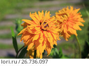 Купить «Blooming rudbeckia flower», фото № 26736097, снято 5 августа 2017 г. (c) Алексей Кузнецов / Фотобанк Лори