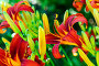 Beautiful bright daylilies on flowerbed. Outdoors, фото № 26761905, снято 6 августа 2017 г. (c) Володина Ольга / Фотобанк Лори