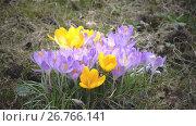 Купить «Early spring, crocus flowers against the background of a last year's grass», видеоролик № 26766141, снято 10 июня 2009 г. (c) Куликов Константин / Фотобанк Лори