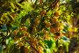 Желтая алыча на ветках, фото № 26768945, снято 19 августа 2017 г. (c) Марина Володько / Фотобанк Лори