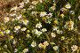 Нивяник обыкновенный. Ромашка садовая, фото № 26769013, снято 20 августа 2017 г. (c) Марина Володько / Фотобанк Лори