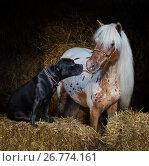 Купить «Американская миниатюрная лошадь и Американский стаффордширский бультерьер на сене», фото № 26774161, снято 18 августа 2017 г. (c) Абрамова Ксения / Фотобанк Лори