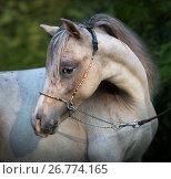 Купить «Портрет молодого жеребца породы Американская миниатюрная лошадь», фото № 26774165, снято 18 августа 2017 г. (c) Абрамова Ксения / Фотобанк Лори