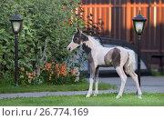 Купить «Пегий жеребенок шоу-класса породы Американская миниатюрная лошадь», фото № 26774169, снято 9 августа 2017 г. (c) Абрамова Ксения / Фотобанк Лори