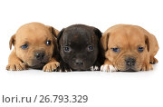 Купить «Portrait of three Staffordshire Terrier puppies», фото № 26793329, снято 9 августа 2017 г. (c) Алексей Кузнецов / Фотобанк Лори