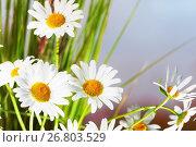 Купить «Ромашки», фото № 26803529, снято 19 августа 2017 г. (c) Григорьев Владимир / Фотобанк Лори