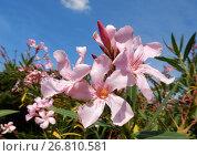 Купить «Цветущий олеандр (лат. Nerium oleander) с душистыми розовыми цветками на фоне голубого неба», эксклюзивное фото № 26810581, снято 2 августа 2017 г. (c) lana1501 / Фотобанк Лори