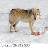 Купить «Grey Wolf (Canis lupus). One-ear wolf with meat», фото № 26812533, снято 5 февраля 2017 г. (c) Валерия Попова / Фотобанк Лори