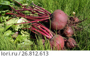 Купить «Урожай свеклы», фото № 26812613, снято 9 июля 2017 г. (c) Ed_Z / Фотобанк Лори