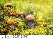 Купить «Подосиновики (красноголовики) растут в лесу», фото № 26812941, снято 27 августа 2017 г. (c) Наталья Осипова / Фотобанк Лори