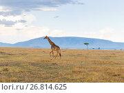Купить «giraffe in savannah at africa», фото № 26814625, снято 18 февраля 2017 г. (c) Syda Productions / Фотобанк Лори