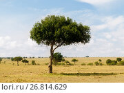 Купить «acacia tree in savannah at africa», фото № 26814629, снято 21 февраля 2017 г. (c) Syda Productions / Фотобанк Лори