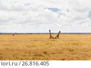 Купить «group of giraffes in savannah at africa», фото № 26816405, снято 19 февраля 2017 г. (c) Syda Productions / Фотобанк Лори