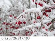 Купить «Обледеневшие ветки боярышника с ягодами после ледяного дождя и снегопада», эксклюзивное фото № 26817193, снято 13 ноября 2016 г. (c) Елена Коромыслова / Фотобанк Лори