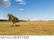 Купить «giraffes in savannah at africa», фото № 26817625, снято 18 февраля 2017 г. (c) Syda Productions / Фотобанк Лори