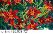 Купить «Beautiful bright daylilies on the flowerbed», видеоролик № 26839721, снято 6 августа 2017 г. (c) Володина Ольга / Фотобанк Лори