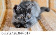 Купить «three-month-old crossbred with Scottish breed kitten lies on couch», видеоролик № 26844017, снято 3 июля 2017 г. (c) Володина Ольга / Фотобанк Лори