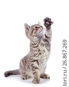 Купить «Striped Scottish kitten pure breed sitting with paw stretched out isolated», фото № 26867269, снято 21 августа 2017 г. (c) Оксана Кузьмина / Фотобанк Лори