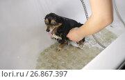 Купить «Small Dog Bathing», видеоролик № 26867397, снято 27 июня 2017 г. (c) Илья Шаматура / Фотобанк Лори