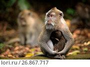 Купить «Семья обезьян», фото № 26867717, снято 29 июля 2012 г. (c) Морозова Татьяна / Фотобанк Лори