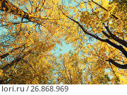 Купить «Autumn trees - orange autumn trees tops against blue sky. Autumn natural view of autumn trees», фото № 26868969, снято 9 октября 2016 г. (c) Зезелина Марина / Фотобанк Лори