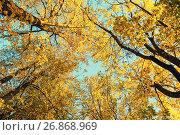 Autumn trees - orange autumn trees tops against blue sky. Autumn natural view of autumn trees, фото № 26868969, снято 9 октября 2016 г. (c) Зезелина Марина / Фотобанк Лори