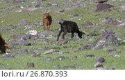 Купить «Козы на горном степном пастбище в Монголии / Goats graze on steppe pasture in natural mountain boundary Tsagduult, western Mongolia», видеоролик № 26870393, снято 14 августа 2017 г. (c) Serg Zastavkin / Фотобанк Лори