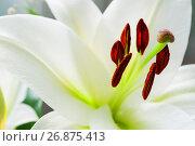 Купить «Белая лилия (Lilium Navona). Софт-фокус на тычинках, малая глубина резкости», фото № 26875413, снято 3 сентября 2017 г. (c) Зезелина Марина / Фотобанк Лори