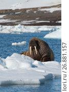 Купить «Walrus on ice flow», фото № 26881157, снято 18 июля 2017 г. (c) Vladimir / Фотобанк Лори