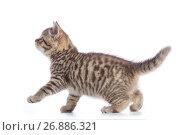 Купить «Young cat side view. Walking tabby kitten isolated on white», фото № 26886321, снято 5 августа 2017 г. (c) Оксана Кузьмина / Фотобанк Лори