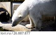 Купить «polar bear (Ursus maritimus)», видеоролик № 26887877, снято 24 августа 2017 г. (c) BestPhotoStudio / Фотобанк Лори