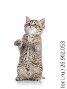 Купить «Funny gray tabby cat kitten isolated on white», фото № 26902053, снято 8 августа 2017 г. (c) Оксана Кузьмина / Фотобанк Лори
