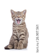 Small cat kitten with open mouth yawning. Studio shot. Стоковое фото, фотограф Оксана Кузьмина / Фотобанк Лори