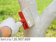 Купить «Побелка деревьев», эксклюзивное фото № 26907669, снято 4 мая 2016 г. (c) Юрий Морозов / Фотобанк Лори