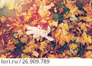 Купить «toy rabbit in fallen autumn leaves», фото № 26909789, снято 12 октября 2016 г. (c) Syda Productions / Фотобанк Лори